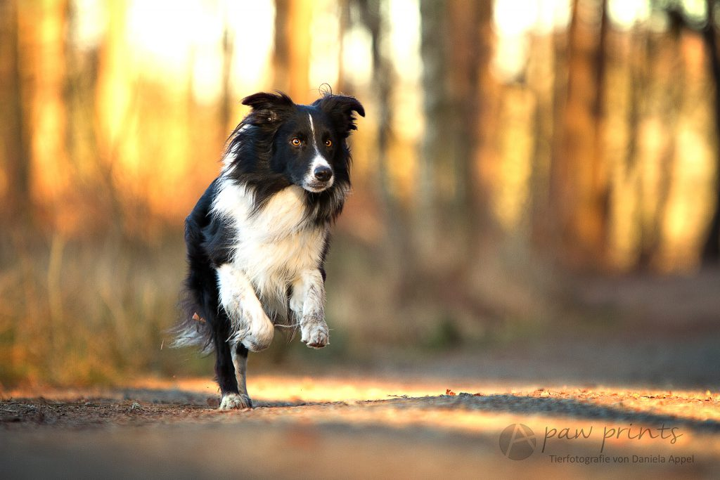 Border Collie | Fotograf in Zetel | Hundefotografin