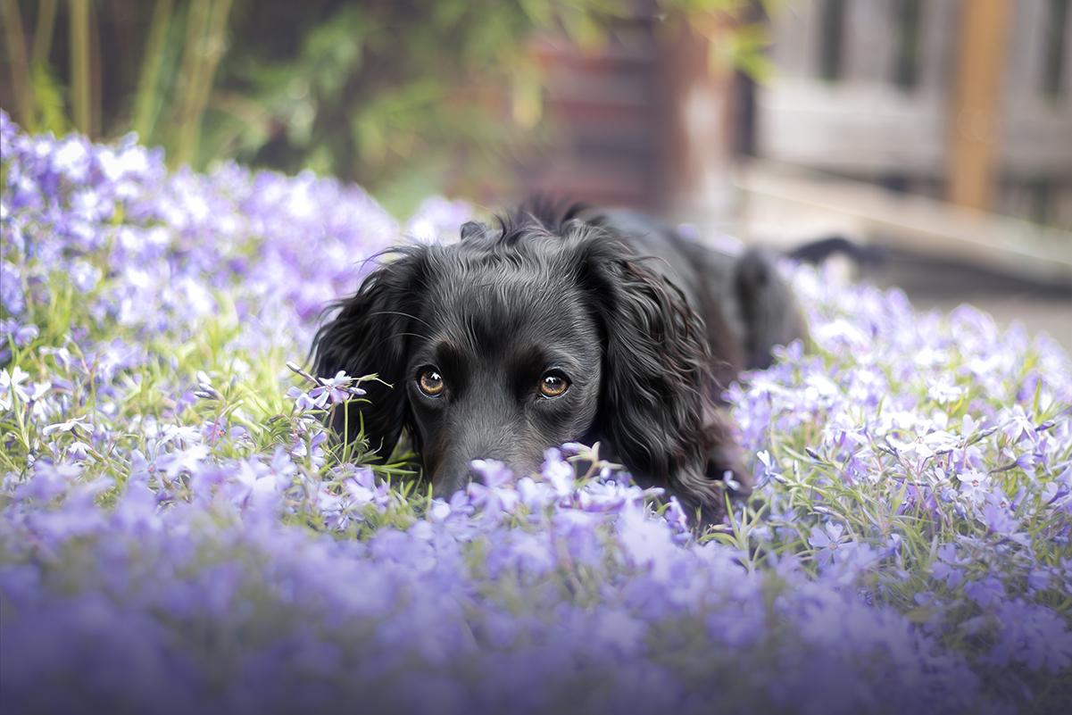 Eve | Working Cocker Spaniel | Hundefotografin | Zetel | Friesland | Fotografin